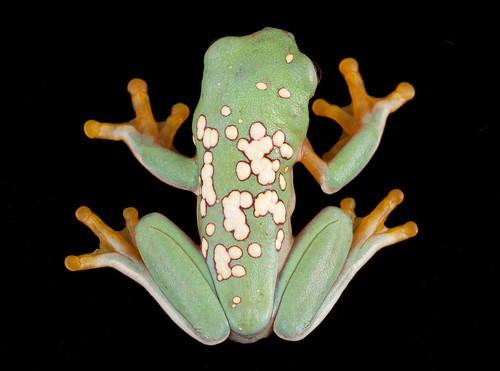<i>Agalychnis spurrelli</i> Rana mono de Spurrell  (Subadulto)