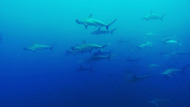 Stim av Scalluped Hammerhead Sharks på Wolf Island, Galápagos, Ecuador