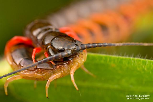 Centipede (Scolopendra sp.) - DSC_8374
