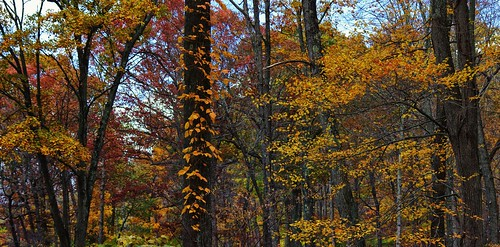 pentax k3 vbd smcpentaxda55300mmf458ed ct connecticut trees leaves fall fallcolor autumn oldminepark trumbull 2014 fall2014 golden yellow newengland woods forest leaf