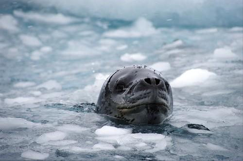 圖說:南極洲海冰中的豹斑海豹