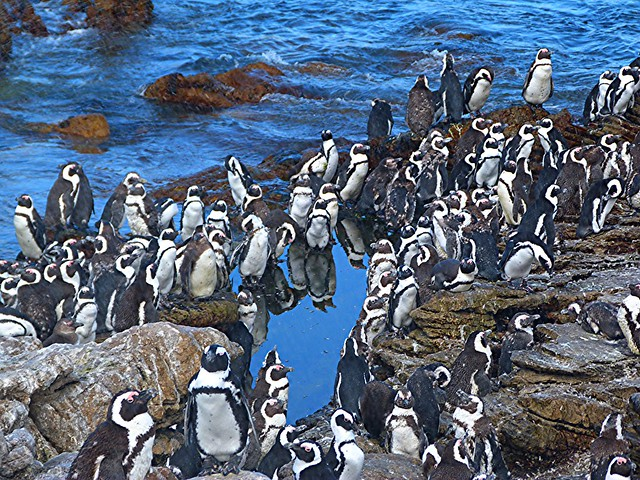 Pingüinos en Stony Point (Betty´s Bay, Sudáfrica)
