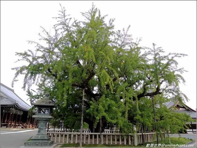 西本願寺。大銀杏