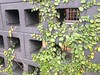 Cinderblock wall_fig ivy
