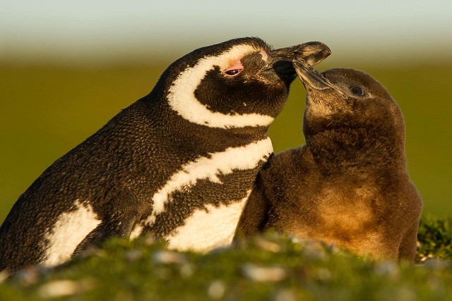 magellanic & Chick