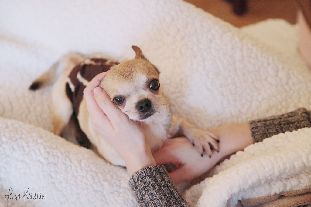 chihuahua adult male smooth coat short haired beige cream tan brown black white face head cuddle on lap adorable cute tiny dog small paw on hand big eyes size fleece blanket cozy