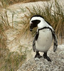 Are you Skipper the penguin?
