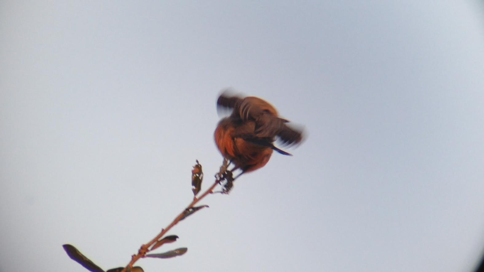 Vermilion Flycatcher Miller County GA 011015 6 297