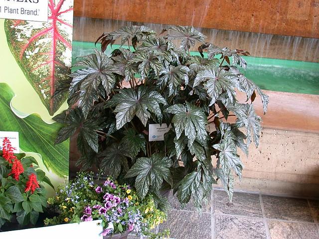 Begonia 'Pegasus' (a.k.a. 'Gryphon')
