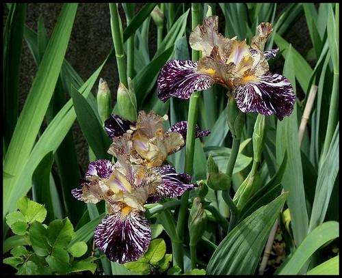 Iris Gnus Flash (2)