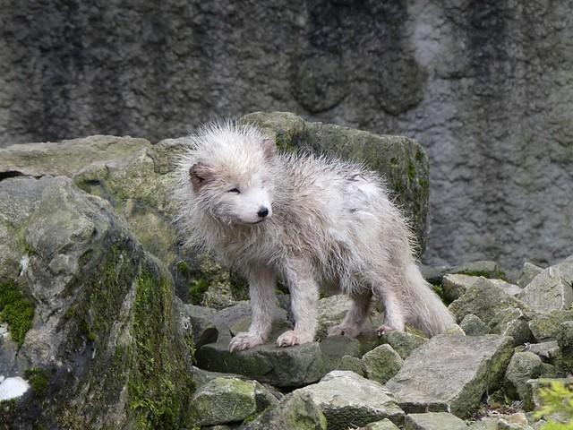 Polarfuchs, Bad Mergentheim