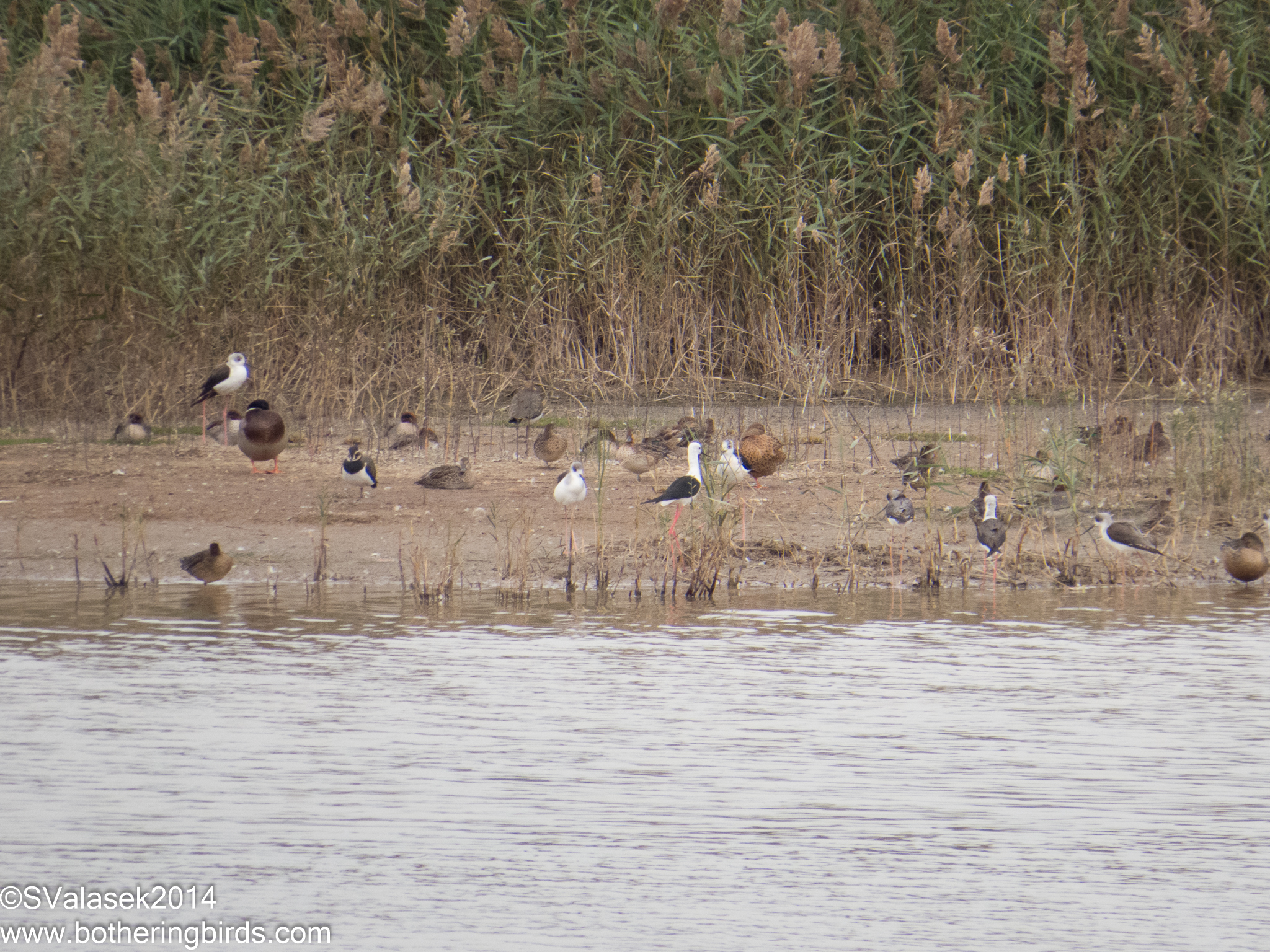 Black-Winged Stilts and Lapwings