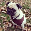 A mini photo shoot with Metric....he was running around in the leaves.... #metricthepug #pug #fall #fallweather #germanvillage #mansbestfriend #puppylove