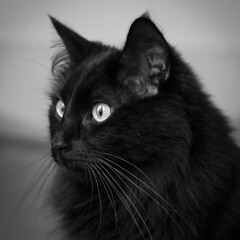 domestic long-haired cat, animal, small to medium-sized cats, pet, black cat, monochrome photography, close-up, cat, monochrome, carnivoran, whiskers, black-and-white, black,