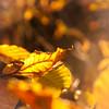 Herbstliche Blätter by Penti II