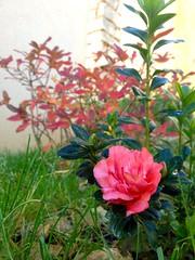 Fleur d'azalée