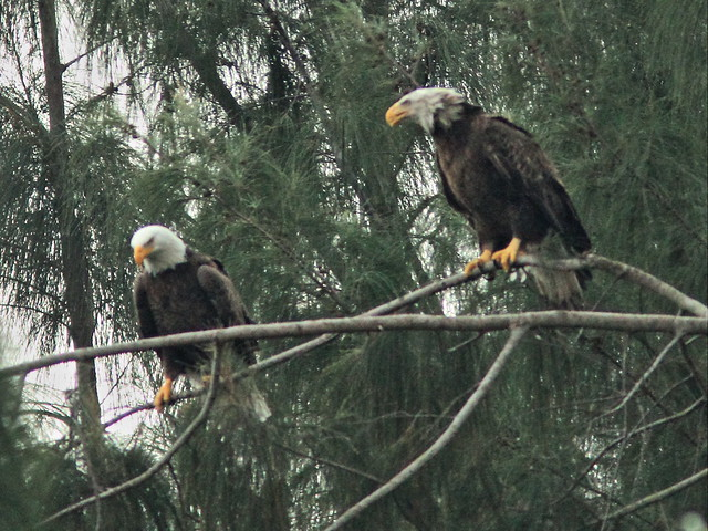 Bald Eagle male and female interacting 04-20141207