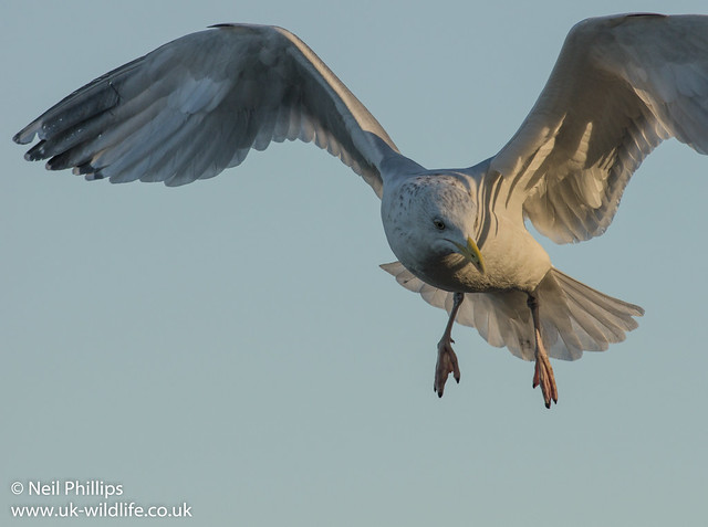 Common gull in flight close up
