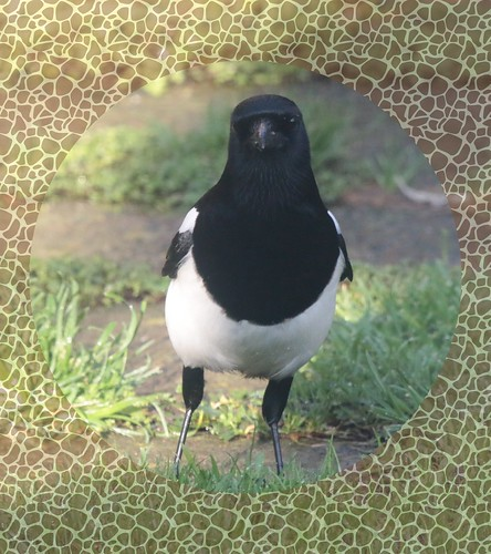 Magpie IMG_1896