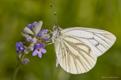 arthropod, pollinator, animal, moths and butterflies, butterfly, flower, wing, nature, invertebrate, macro photography, flora, fauna, cabbage butterfly, close-up, petal,