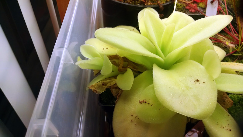 Pinguicula gigantea with offset.