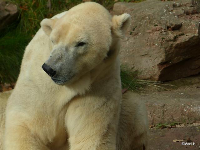 14-Eisbär-Mimik