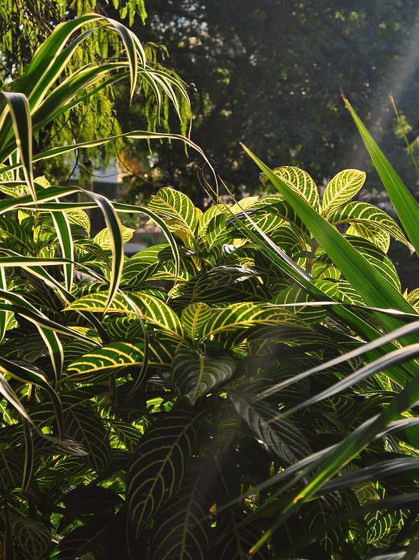 Sanchezia speciosa (1)