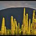 Bosque de cactus de Tehuacán