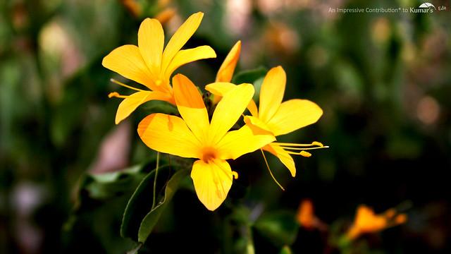 Aquilegias Flower Shot at Jodhpur Garden
