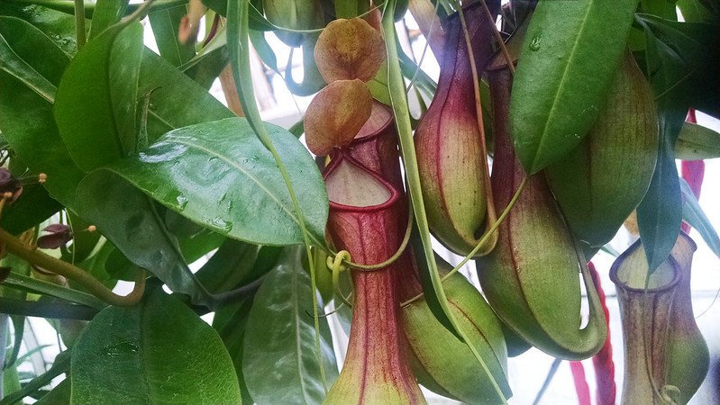 Nepenthes ventrata at the Conservatory of Flowers.