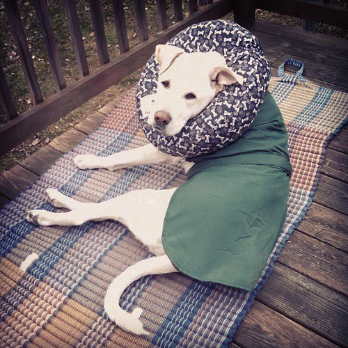 37 degrees and he insists on being outside, so Mama made him put on his jacket. #dogstagram  #instadog #seniordog #ilovemyseniordog #ilovebigmutts  He's got his #WagTailFarms #neckhug on for a bit as well because of his #megaesophagus
