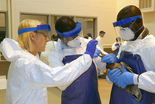 Course participants practice swabbing wild ducks for diagnostic sampling