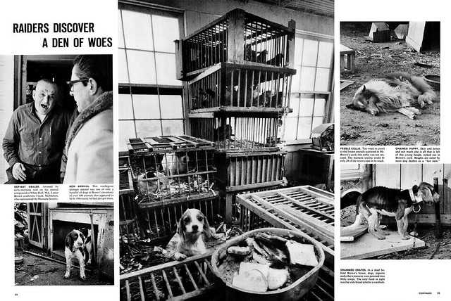 LIFE February 4, 1966 - Concentration Camps for Dogs (2)