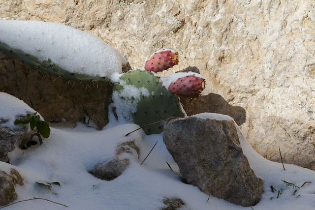 Prickly pears snowed in. Caltabellotta, Sicily.