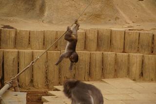 024 Japanse makaken