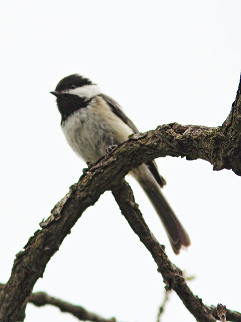 Black-capped Chickadee 2-20160504
