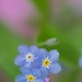 Forget-me-not flowers by laszlofromhalifax