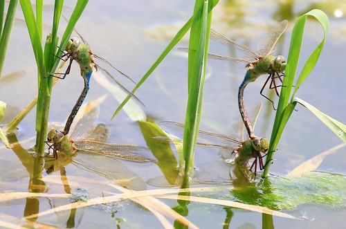 park county city green dragonflies reis iowa larry eggs mating common darner laying waukon allamakee