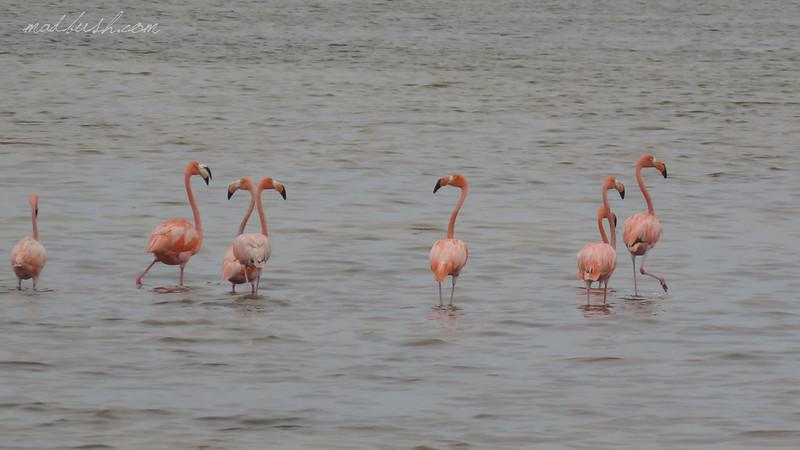 Caribbean Flamingo (Phoenicopterus ruber) in Las Salinas