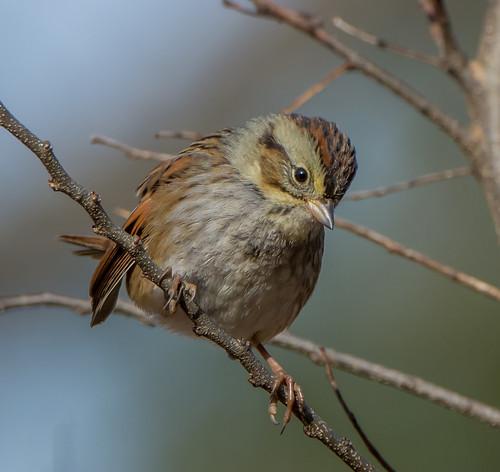 sparrow bird melospizageorgiana swampsparrow melospiza bonniecoatesott