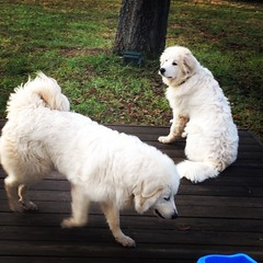 dog breed, animal, polish tatra sheepdog, dog, pet, maremma sheepdog, mammal, slovak cuvac, goldendoodle, golden retriever, great pyrenees,