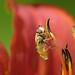 Small photo of Schwebfliege in Lilie
