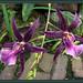 031 Orchids