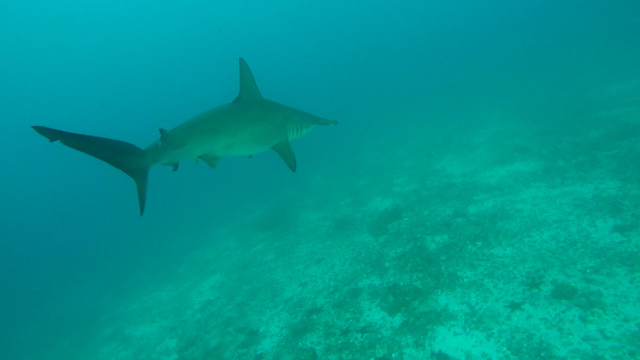 En stor Scalloped Hammerhead Shark på Darwin Island, Galápagos, Ecuador