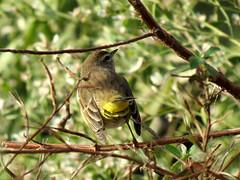 mooning warbler