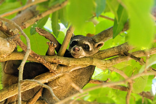 Crab-eating raccoon | Mapache cangrejero (Procyon cancrivorus)