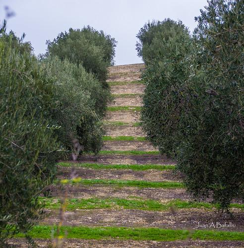 Peldaños de hierba y pasamanos de olivo