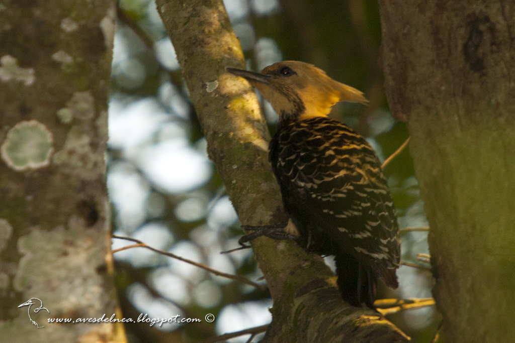 Carpintero copete amarillo (Blond-crested woodpecker) Celeus flavescens