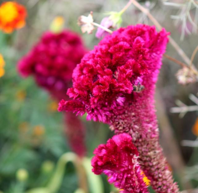 Celosia cristata hybrid (Red Cockscomb) - cultivated