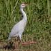 Albino Cattle Egret ?